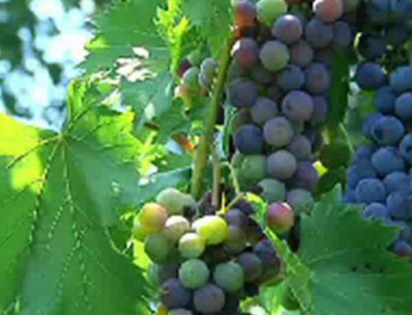 One Tank Getaways_ Local Wines, Local Vines_-3744946213567576141