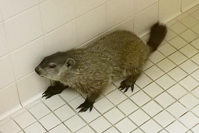 Groundhog found in Deaconess Bathroom_3097981230173931081