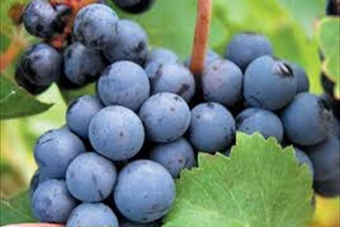 Wine Grapes_-3711538270893683539