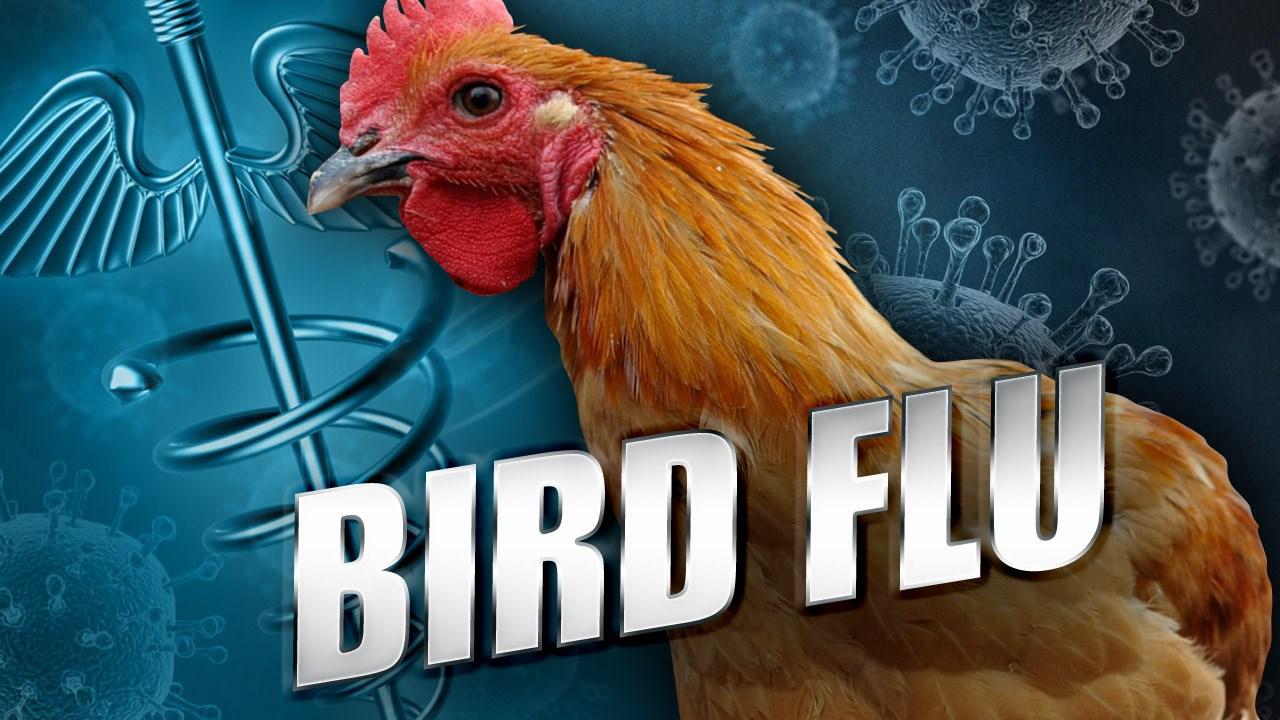bird flu generic_1462226103007.jpg