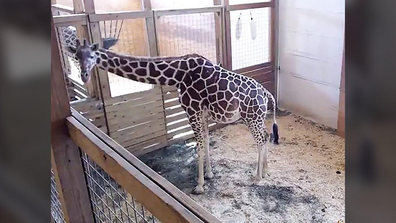 april giraffe_1490308029917.jpg