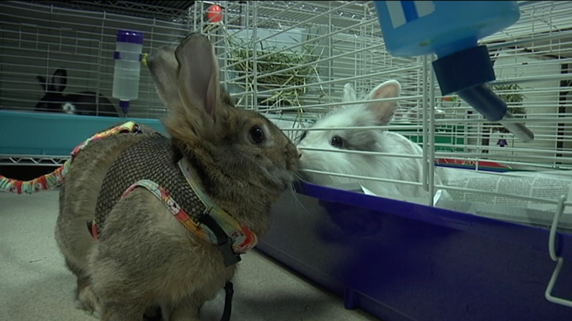 rabbit adoption_1492203753221.jpg