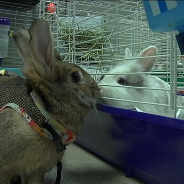 rabbit adoption_1492203753221.jpg