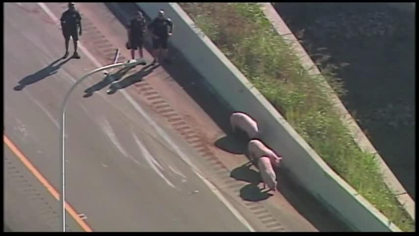 Pig Truck Overturns on KY Interstate_15807819