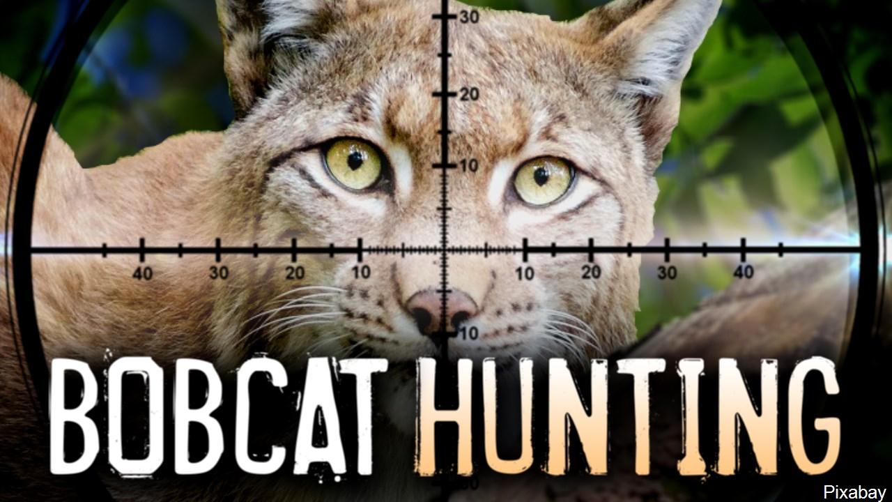 bobcat hunting mgn_1520286466878.jpg.jpg
