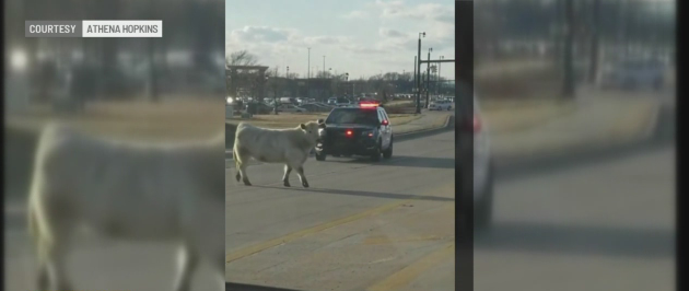 Cow in Noblesville_1552831724892.PNG-873774424.jpg