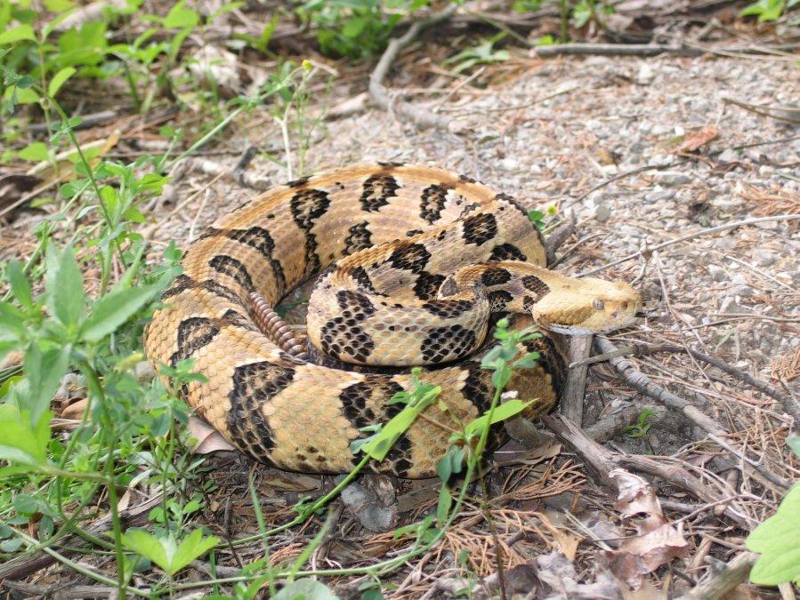 timber rattlesnake dnr_1561050399559.jpg.jpg