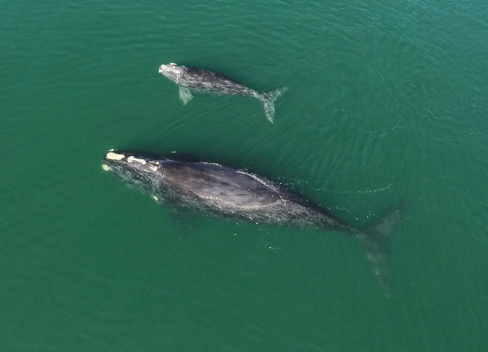 Right Whales